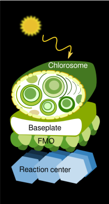 Sketch of the photosynthetic LHC of green-sulfur bacteria